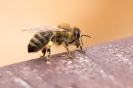 2015-05-31- Tag des offenen Bienenstocks in Kals